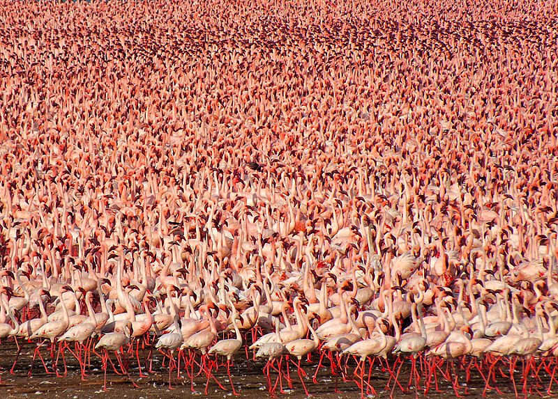 millions-of-pink-flamingos-at-lake-nakuru-1