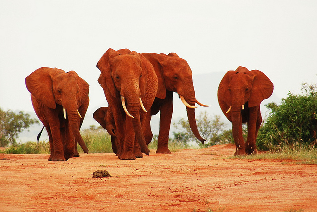 red_elephants_4