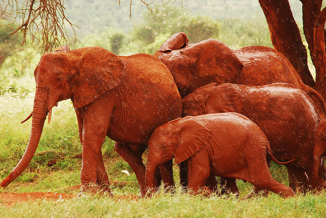 red_elephants_8