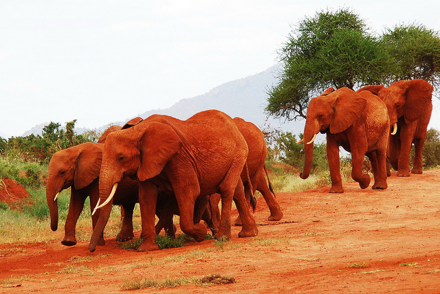 red_elephants_9